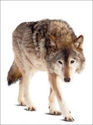 wolf radio kootwijk